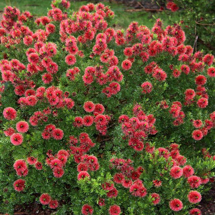 Kunzea Mandy's Surprise  ] 9336922028909 - Flower Power