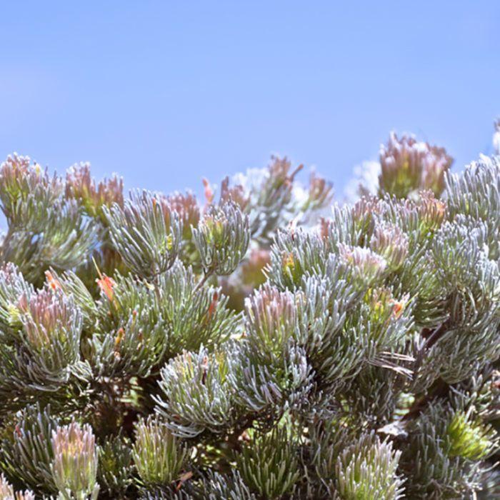 Woolly Bush Bronze Glow  ] 9336922031596P - Flower Power