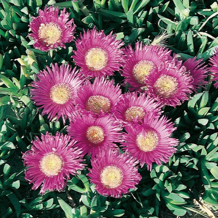 Carpobrotus Pink Passion  ] 9336922034283 - Flower Power