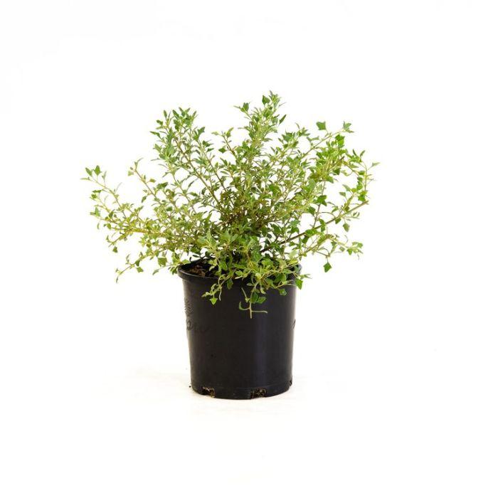 Rhagodia Aussie Flat Bush  ] 9336922036140P - Flower Power