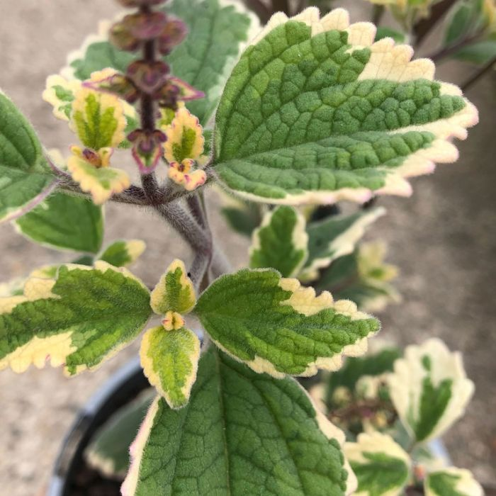Plectranthus Blue Spires  ] 9336922040512 - Flower Power