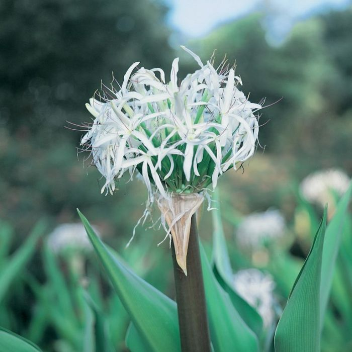 Crinum Pedunculatum  ] 9336991007300P - Flower Power