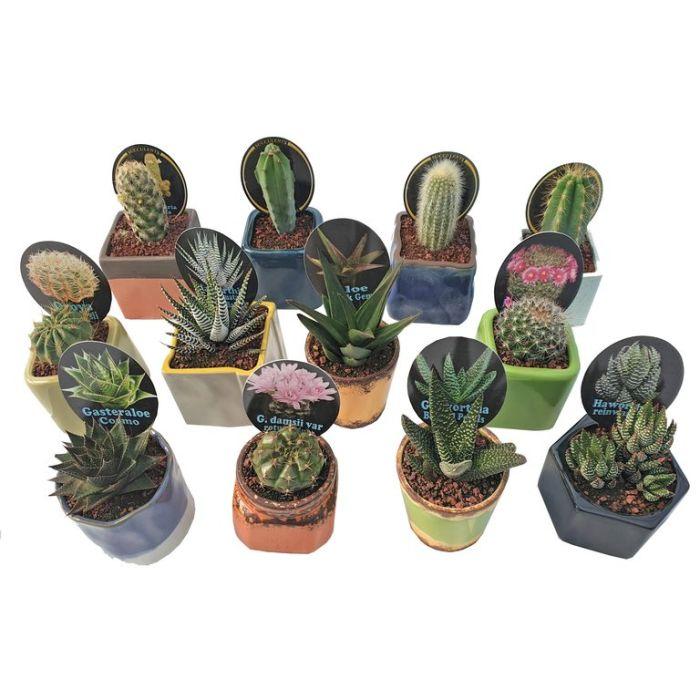 Cactus in Ceramic Pot Assorted  ] 9337006002228 - Flower Power