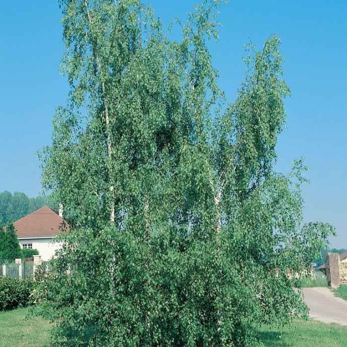 Birch 'Dalecarlica'  ] 9337338000343 - Flower Power