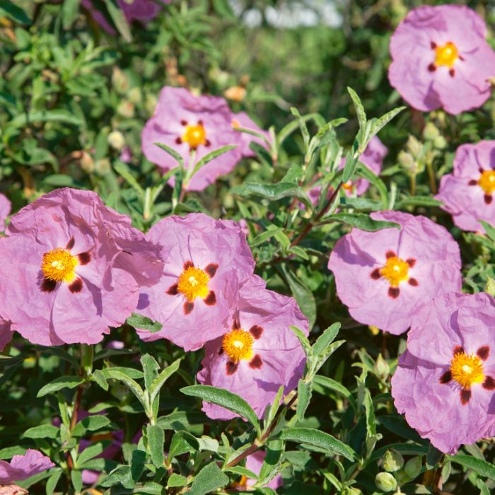 Cistus Brilliancy  ] 9339797009646P - Flower Power