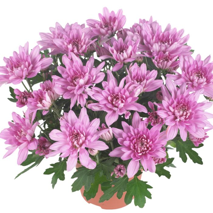 Chrysanthemum Chrystal Pink