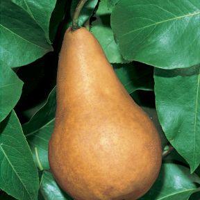 Pear Burre Bosc  ] 1019200250 - Flower Power
