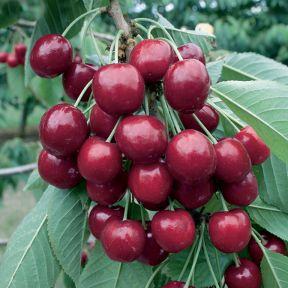 Cherry Stella  ] 1037700250P - Flower Power