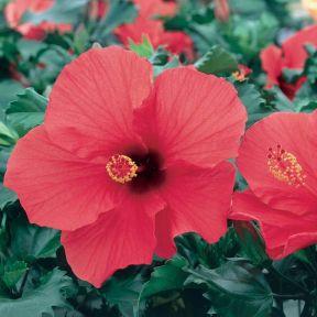Hibiscus Rosalie  ] 1045830200P - Flower Power