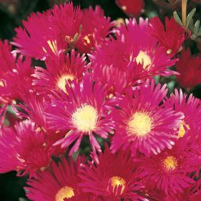 Pig Face Magenta  ] 1071630125 - Flower Power