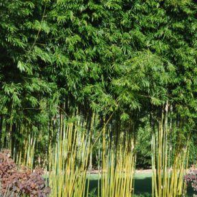 Slender Weaver's Bamboo  ] 1175780300P - Flower Power