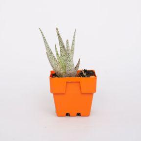 Aloe Variegata  ] 1233170100 - Flower Power