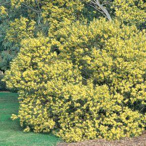 Sydney Golden Wattle  ] 1289700200P - Flower Power