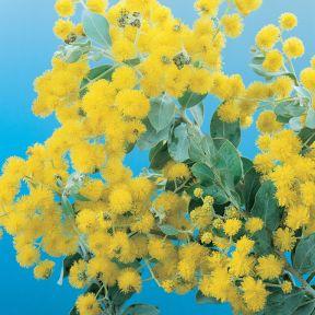 Queensland Silver Wattle  ] 1289800200P - Flower Power