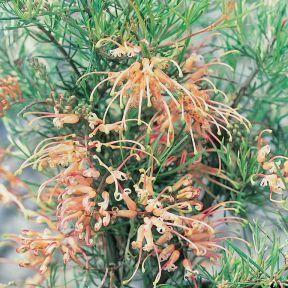 Grevillea Semperflorens  ] 132621 - Flower Power