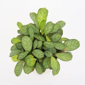 Prayer Plant  ] 1347280125P - Flower Power