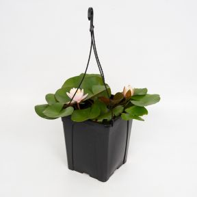 Nymphaea 'Pink'  ] 135654 - Flower Power