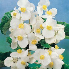 Begonia Green Leaf White  ] 1362101006P - Flower Power