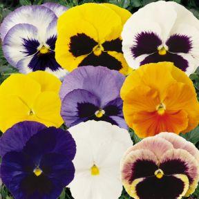 Pansy Matrix Mix  ] 1362321006 - Flower Power