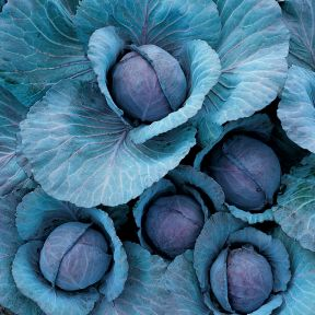 Cabbage Red  ] 1362641006P - Flower Power