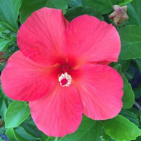 Hibiscus Red Sheen  ] 1366240200P - Flower Power