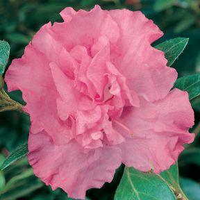 Azalea Pink Phryne  ] 1379940140P - Flower Power