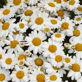 Madeira Daisy White Single  ] 1382530140P - Flower Power