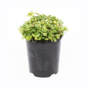 Lamium Anne Greenaway  ] 1407520140P - Flower Power