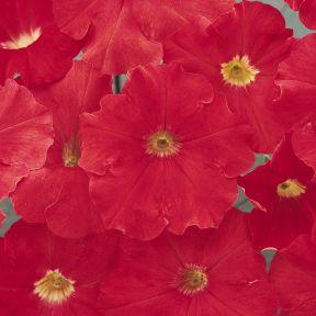 Petunia Spreading Red  ] 1439651006 - Flower Power