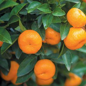 Seedless Japanese Mandarin  ] 151175P - Flower Power