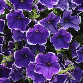 Petunia Rhythm N Blues  ] 1514950140 - Flower Power