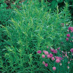Tarragon French  ] 1539650100P - Flower Power