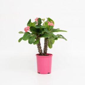 Euphorbia Lipstick  ] 1571270140P - Flower Power