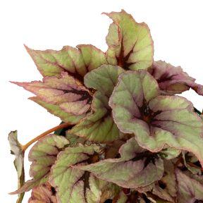 Indian Summer / Begonia  ] 1592040140P - Flower Power