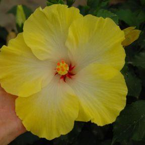 Hibiscus Klahanie Limoncello  ] 1605310200 - Flower Power