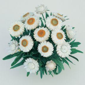 Bracteantha Jumbo White  ] 1629410140 - Flower Power