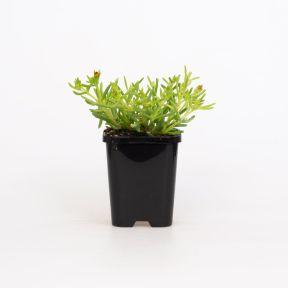 Delosperma Orange  ] 1648360085 - Flower Power