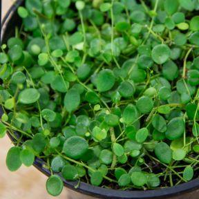 Trailing Jade 'Green Buttons' Hanging Basket  ] 1650210014P - Flower Power