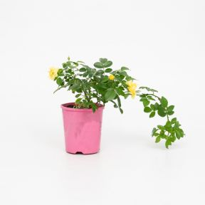 Gold Flower Carpet Rose  ] 1659400140P - Flower Power