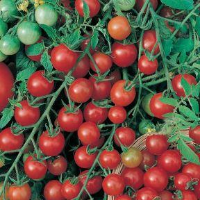 Tomato Ruby Truss  ] 1673480125 - Flower Power