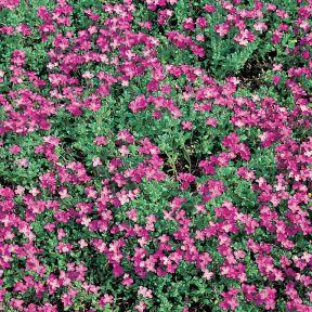 Aubrieta Axcent Dark Pink  ] 1673690140 - Flower Power