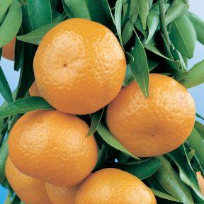 Dwarf Imperial Mandarin  ] 1683450140P - Flower Power