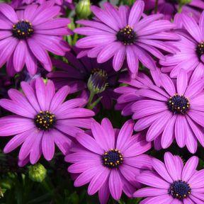 Osteospermum Power Packed Purple Red  ] 1729290140 - Flower Power