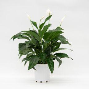 Spathiphyllum Romano  ] 173774P - Flower Power
