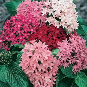Pentas  ] 180146 - Flower Power