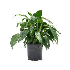 Spathiphyllum Carlos  ] 181258P - Flower Power