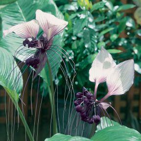 Tacca Bat Plant  ] 183257P - Flower Power