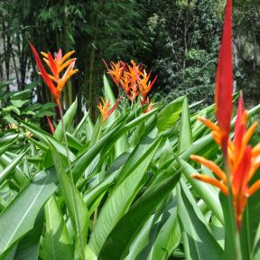 Heliconia St Vincent Red  ] 184687P - Flower Power