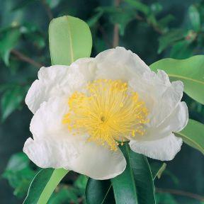 Gordonia axillaris  ] 185839P - Flower Power