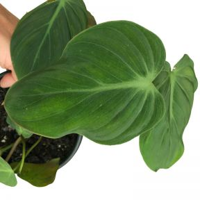 Philodendron Micans  ] 189286P - Flower Power